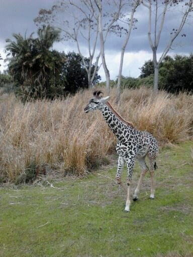 The baby giraffe on the Safari.