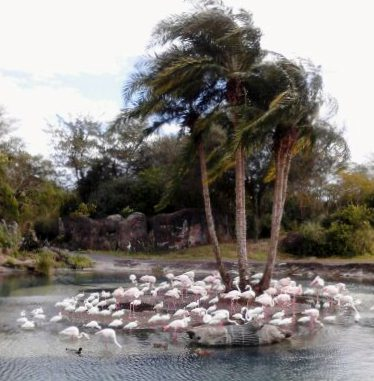 Flamingo flock.