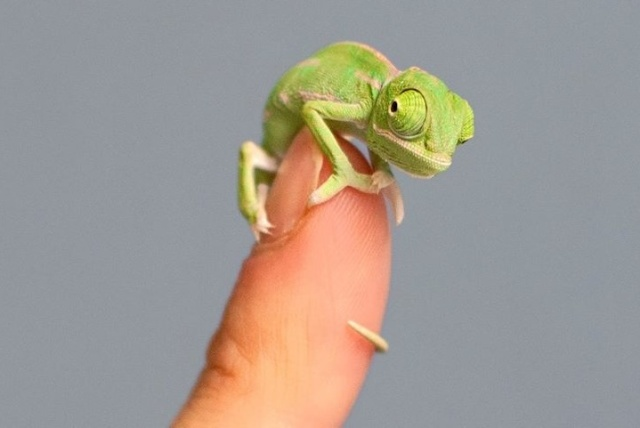 The real Pascal (so tiny!!).