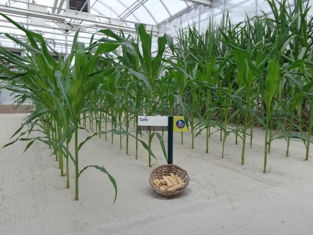 Growing corn.