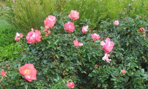 Aurora Roses